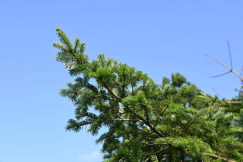 シラベ,樹木