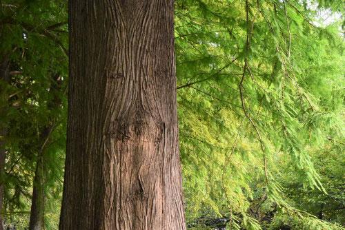ラクウショウ 樹皮