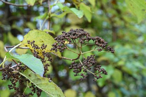 Climbing Hydrangea,fruits