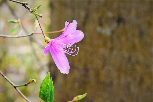 東国三葉躑躅,トウゴクミツバツツジの花,特徴