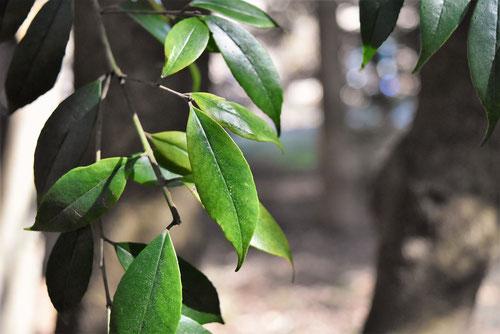 シイモチの木
