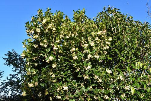 ストロベリーツリーの花