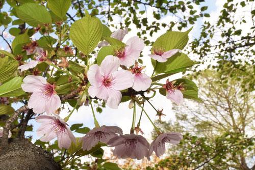 伊豆吉野,桜の木の花