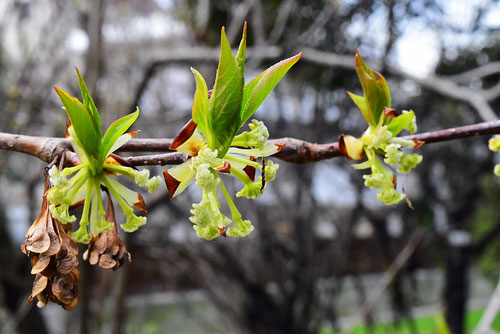 房桜 花 おしべ めしべ