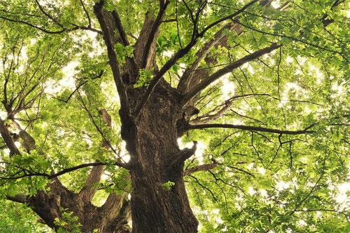 しなさわぐるみの巨樹