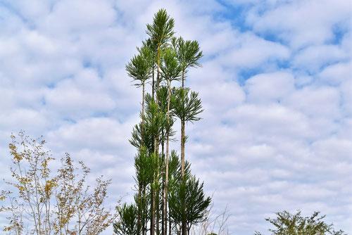 日本のスギの木の種類,すぎ