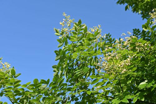 Chinese scholar tree,flower