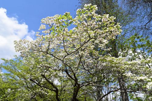 花水木,開花時期