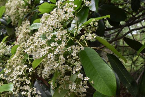 オオカナメモチの花