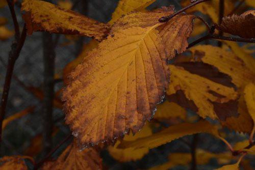 Mountain Ash,tree