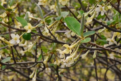 トウグミの花,びっくり茱萸の開花,特徴