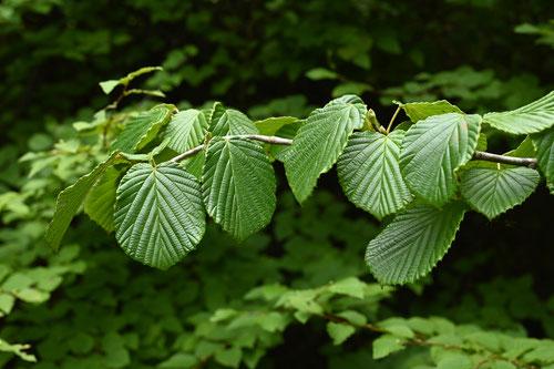 とさみずきの葉,画像