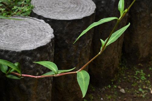 茎は赤味を帯びる