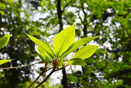 イヌビワ,葉っぱ