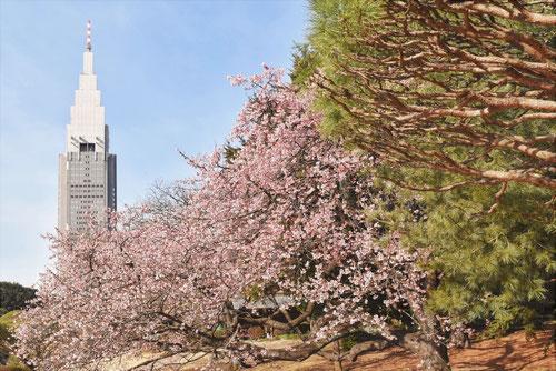 寒桜,見頃,カンザクラ