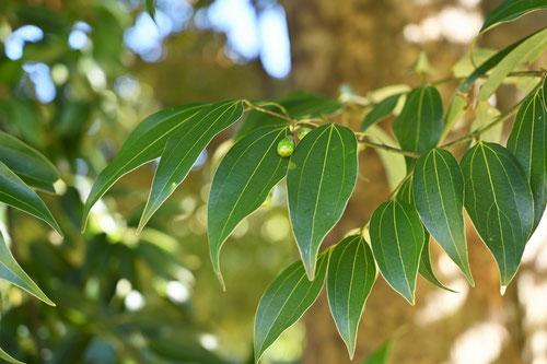 ニッケイの木とヤブニッケイの木の違い