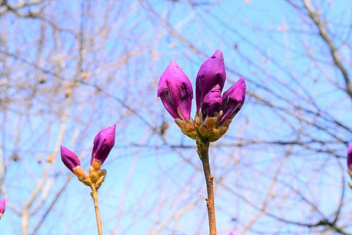 紫色の花が咲くツツジ