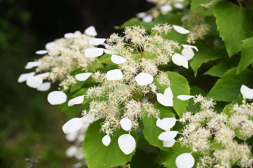 イワガラミの花 庭木図鑑