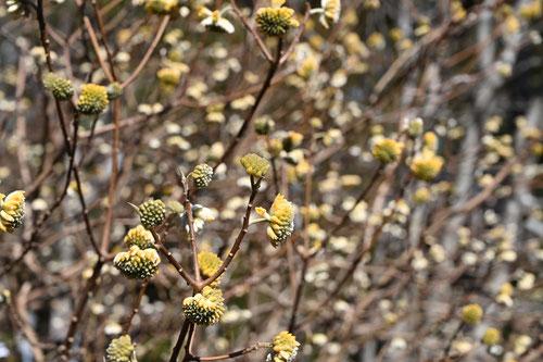 ミツマタ 開花時期