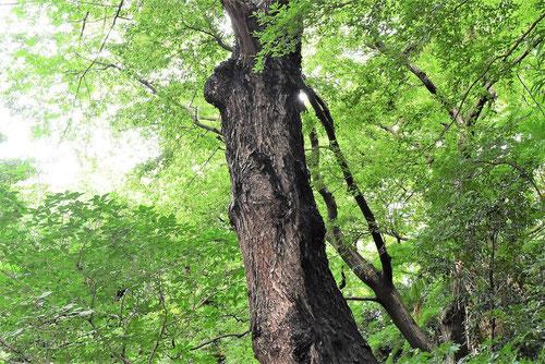 チャンチンモドキ,ラプシーの木,幹