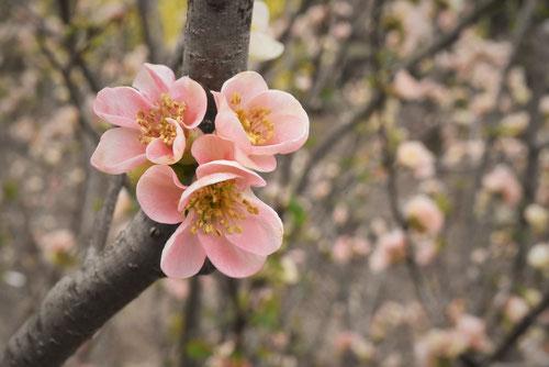 桃色,ぼけ,樹木