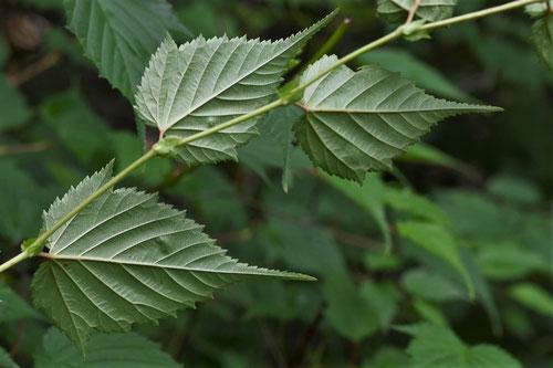 金空木の葉