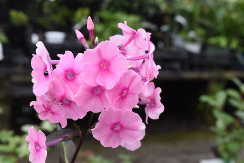 草夾竹桃の花
