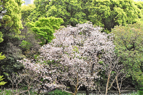ボタン桜,種類