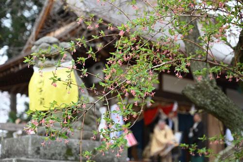 ウグイスカグラの木
