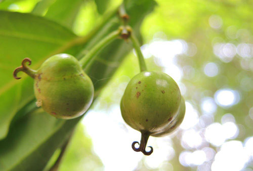 Japanese tallow tree,seeds