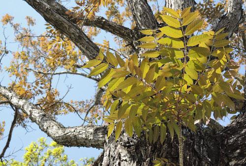 Chinese cedar,leaf