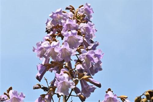 桐木 開花時期