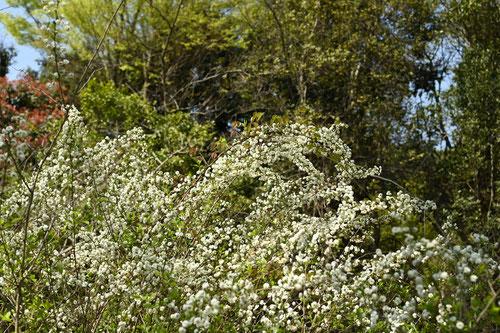 シジミ花,花言葉