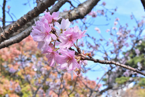 秋に咲くサクラ,シキザクラ