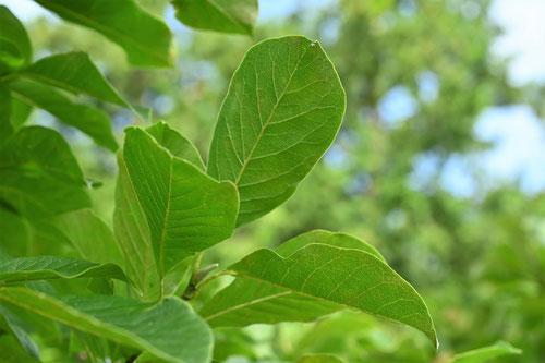 辛夷の木の葉