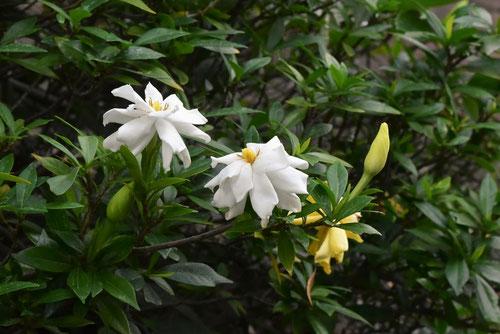 コクチナシとヒメクチナシの花