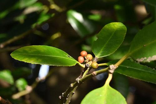 Tarajo holly,fruits
