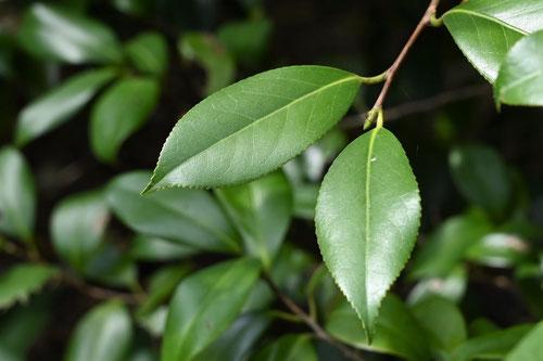 藪椿,やぶつばき,葉っぱ