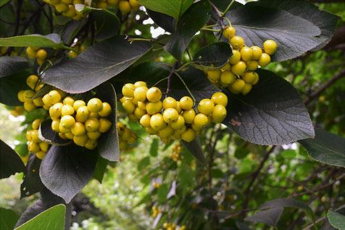 黄色い実の木