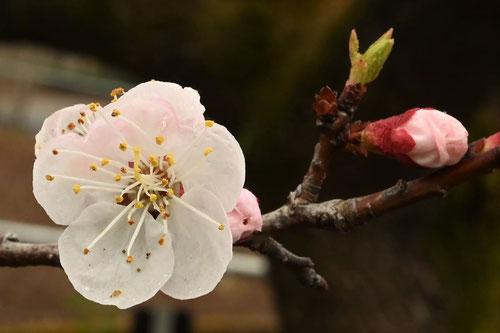 あんず,果樹,花