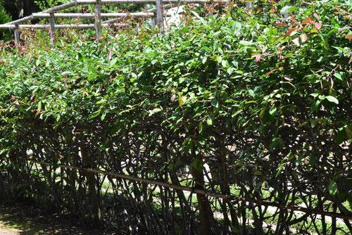 木瓜 垣根
