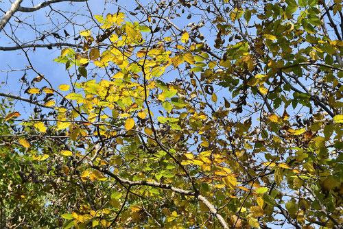さわしば,木,紅葉