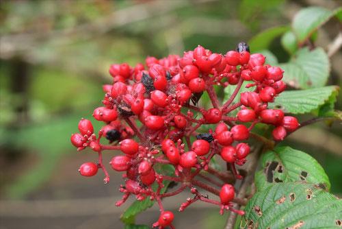 胡蝶樹の木の実