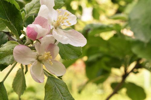 りんご,花
