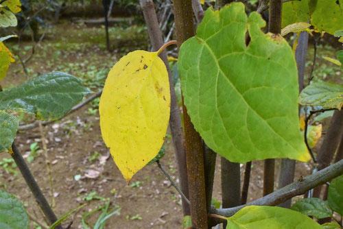 ナツロウバイ 紅葉 黄葉