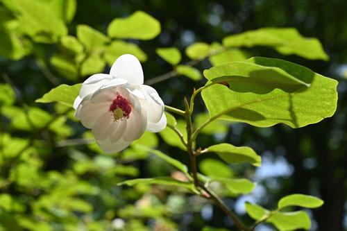 Oyama Magnolia,Japanese