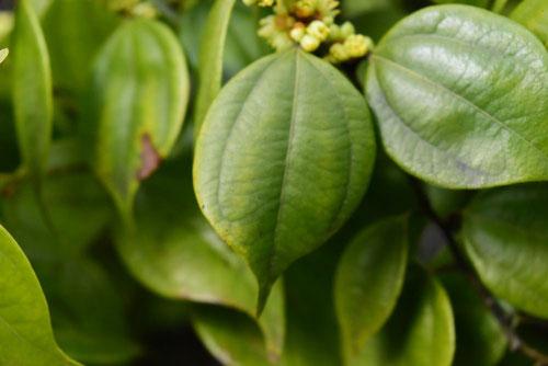 テンダイウヤクの葉 樹木