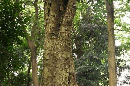 大かなめもちの木の樹皮