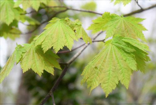 Japanese maple 'Hauchiwa-kaede'