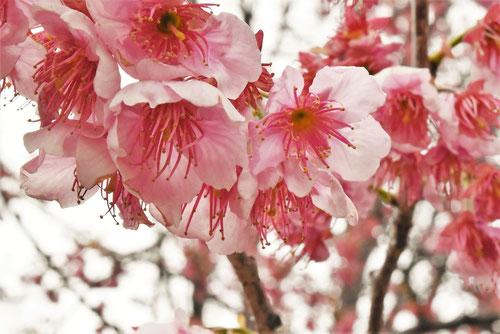 椿寒桜の花